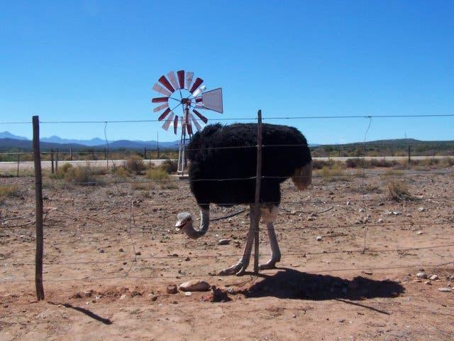 struisvogels oudtshoorn zuid-afrika