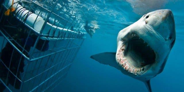 duiken met haaien kaapstad