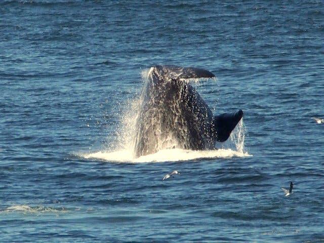 kaapstad walvissen
